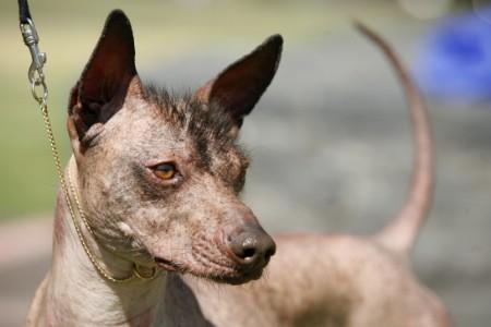 Bald Mexican dogs defied daggers and poor genes - Reuters