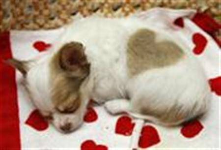 Japan smitten by puppy love
