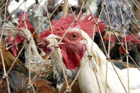 A chickens is seen in a cage at a market in Dhaka in this May 3, 2007 file photo. Bird flu has spread to another district in northwestern Bangladesh, forcing health and veterinary workers to cull some 6,000 chickens and destroy over 2,500 eggs, officials said on Saturday.REUTERS/Rafiqur Rahman