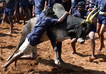 Villagers try to hold down a bull during a bull-taming festival on the outskirts of Madurai town, about 311 miles from the southern Indian city of Chennai, January 17, 2008. REUTERS/Babu