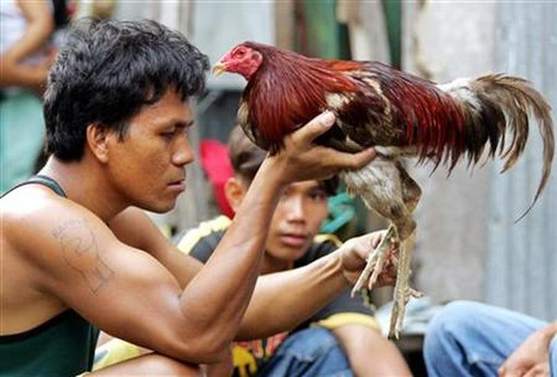 Beaks and blades attack in Philippine Sunday ritual - Reuters