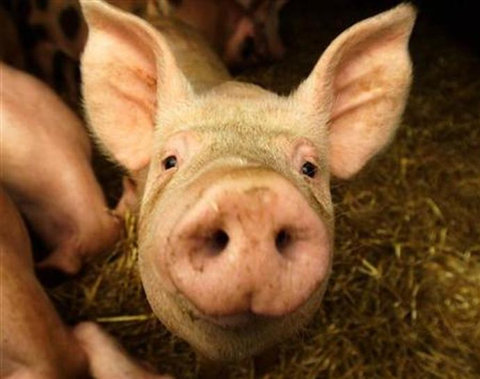 "hypocrisy in animal farm Rspca accused of hypocrisy ""farmers understand better than anyone the crucial importance of high standards of care for each and every animal on the farm."
