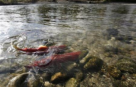 Sockeye salmon gather in the shallows of the Adams River near Chase, British Columbia northeast of Vancouver October 11, 2006 in this file photo. The salmon travel some 405 km (252 miles) from the Pacific Ocean through inland waters to the river to spawn. REUTERS/Andy Clark