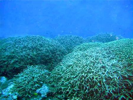 Porites matrices grow in the Bravo Crater in this handout photo made available April 14, 2008. Coral is again flourishing in the crater left by the largest nuclear weapon ever detonated by the United States, 54 years after the blast on Bikini Atoll, marine scientists said on Tuesday. REUTERS/Australian Research Council/Handout
