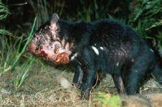 <p>Una immagine di archivio di un diavolo della Tasmania malato. REUTERS/Hannah Bender/University of Sydney</p>