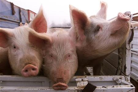 Pigs wait to be sold in an open market in a file photo. Pork belly prices are under pressure as interest in the BLT, the popular summer bacon, lettuce and tomato sandwich, could dip after an outbreak of salmonella poisoning in nine U.S. states, with illnesses in two of them blamed on eating raw tomatoes REUTERS/Bogdan Cristel