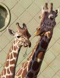 <p>Два молодых жирафа в зоопарке Роттердама, 15 июля 1999 года. Пятнадцать верблюдов, две зебры, несколько лам и ручных свиней сбежали из цирка, находящегося на гастролях в Амстердаме, сообщила в понедельник голландская полиция. (REUTERS/Fred Ernst)</p>