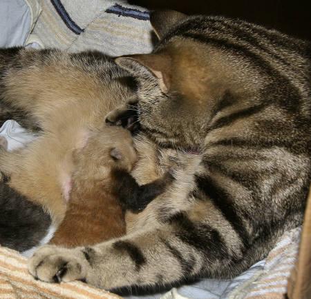 7月9日、アムステルダムの動物園で、母親に育児放棄されたレッサーパンダの赤ちゃんが家ネコに育てられている。撮影日不明。Artis Zoo提供(2008年 ロイター)