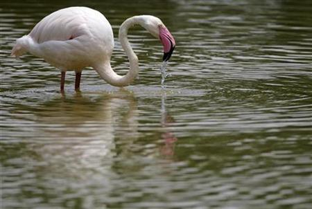 A flamingo looks for food at a wetland in Putrajaya outside Kuala Lumpur September 12, 2007. REUTERS/Bazuki Muhammad