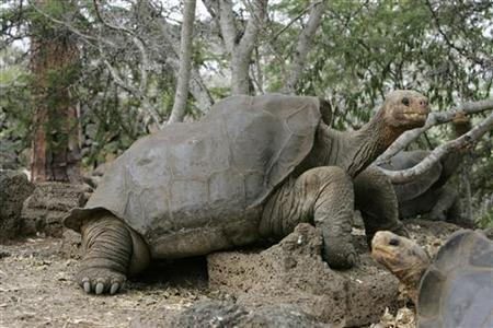 George, the giant tortoise is seen in the national park of the Galapagos islands April 29, 2007, where British naturalist Charles Darwin conceived his theory of evolution. REUTERS/Guillermo Granja