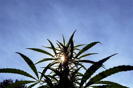 The sun shines though the distinctive leaves of a marijuana plant during a drug raid in the remote northern Lebombo mountains in Swaziland, in this May 24, 2005 file picture. REUTERS/Mike Hutchings