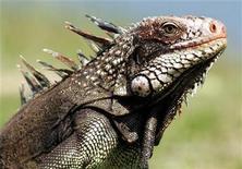 <p>An iguana in a file photo. REUTERS/Jorge Silva</p>