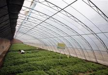 <p>A worker picks some New Zealand spinach growing in a greenhouse at an organic farm located on the outskirts of Beijing June 20, 2008. REUTERS/David Gray</p>