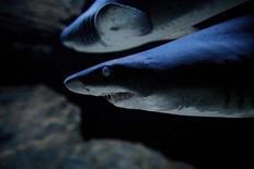 <p>A shark swims in a marine display at an aquarium in Cape Town, South Africa, June 10, 2007. REUTERS/Finbarr O'Reilly</p>