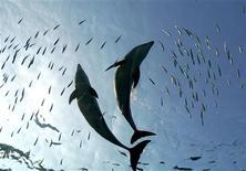 <p>Les dauphins ont inventé la cuisine sous-marine : selon des scientifiques australiens, les mammifères ont élaboré des recettes pour débarrasser les seiches de leur encre et de leur os afin se mitonner un délicieux plat de calmars. /Photo d'archives/REUTERS/Kimimasa Mayama</p>