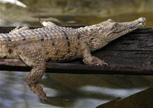 <p>A male freshwater crocodile is seen after being weighed and measured by animal expers at Sydney Wildlife World August 13, 2008. REUTERS/Daniel Munoz</p>