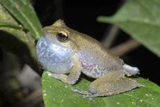 <p>A Litoria frog, which uses a loud ringing song to call for a mate, was discovered in a rainforest during a Conservation International (CI) led Rapid Assessment Program (RAP) expedition of Papua New Guinea's highlands wilderness in 2008 is pictured in this undated handout photo. REUTERS/Steve Richards/Conservation International/Handout</p>