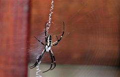 <p>Immagine d'archivio di un ragno. REUTERS/Stelios Varias (UNITED STATES)</p>