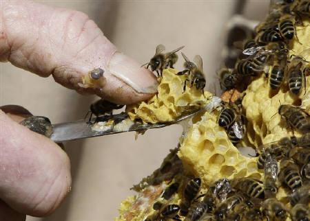 6月4日、英王室の養蜂場で約50万匹のミツバチが巣ごと盗まれたことが明らかに。写真は英国中部の別の養蜂場で4月撮影(2009年 ロイター/Darren Staples)