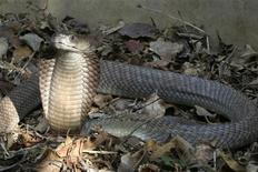 <p>A Naja Ashei, a newly discovered giant spitting cobra measuring nearly nine feet and carrying enough venom to kill at least 15 people, is seen in this picture released by WildlifeDirect in this file photo from December 7, 2007. REUTERS/WildlifeDirect/Handout</p>