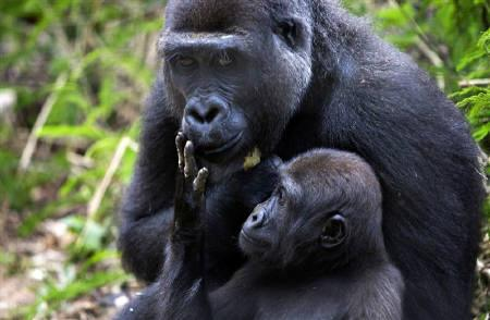A baby western lowland gorilla touches on his mother's face at the primate sanctuary run by the Cameroon Wildlife Aid Fund in Mefou National Park, just outside the capital Yaounde, in this March 21, 2009 file photo. REUTERS/Finbarr O'Reilly/Files