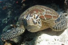 <p>Un esemplare di tartaruga verde in una foto d'archivio. REUTERS/David Loh</p>