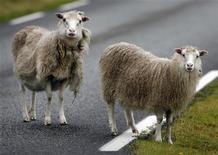 <p>Foto de archivo de un par de ovejas sobre una carretera en Funningur, Islas Faroe, 10 ago 2009. Una oveja fue vendida a un precio récord de 231.000 libras esterlinas (376.200 dólares) en un remate de ganado escocés, informó el viernes una sociedad británica ovejera. REUTERS/Bob Strong</p>