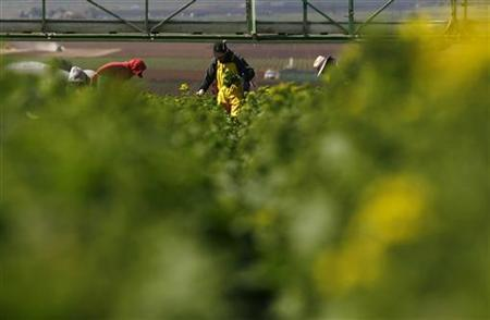 Farm workers of the D'Arrigo Brothers Company harvest broccoli in Salinas Valley, often called the 'Salad Bowl of the World', in the central coast region of California April 3, 2008. REUTERS/Darrin Zammit Lupi (