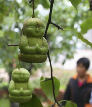 9月10日、中国の果樹園で「釈迦」の形をしたナシが実る(2009年 ロイター/Pillar Lee)