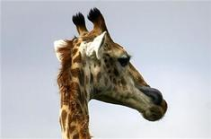 <p>A giraffe licks its face in the Kariega Game Reserve east of Port Elizabeth January 5, 2008. REUTERS/Alex Grimm</p>