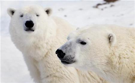 Polar bears look on at the St. Felicien Wildlife Zoo in St. Felicien, March 5, 2009. According to Environment Canada, Canada is home to approximately 15,000 of the estimated 20,000-25,000 polar bears worldwide. REUTERS/Mathieu Belanger