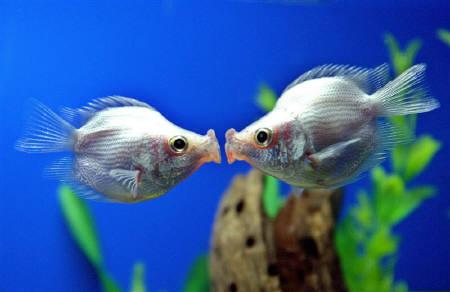 A pair of tropical ''kissing fish'' kiss at a pet store in Shanghai in this February 14, 2006 file photo. ''Kissing fish'', called ''jie wen yu'' locally, are popular gifts during Valentine's Day in China. REUTERS/STR New/Files