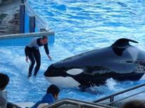 """<p>Imagen de archivo de un entrenador junto a una orca durante la presentación """"Believe"""" en Sea World, Orlando. Feb 14 2010. Una orca del parque de entretenciones SeaWorld en el centro de Florida mató el miércoles a una entrenadora, informaron la policía y ejecutivos de la compañía. REUTERS/Richard Baum/archivo</p>"""
