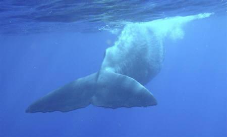 6月16日、オーストラリアの海洋生物学者チームは、マッコウクジラが排泄行為を通じCO2排出量の削減に貢献していると発表。写真は2008年1月にモーリシャス沖で撮影したマッコウクジラ(2010年 ロイター)