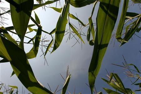 Large fields of corn growing in fields in Louisville, Kentucky, August 26, 2009. REUTERS/John Sommers II