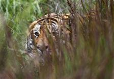 <p>A tiger looks on as it rests at the Lionsrock Big Cat Sanctuary near Bethlehem, South Africa April 26, 2010.REUTERS/Peter Andrews</p>