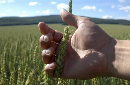 A person inspects wheat in a field near the village of Solgon, Russian Siberian city of Krasnoyarsk, August 7, 2010. REUTERS/Ilya Naymushin
