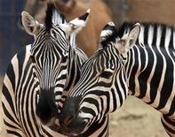 <p>Zebras are pictured in their enclosure at Riyadh zoo January 12, 2009. REUTERS/Fahad Shadeed</p>