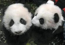 <p>Giant panda cubs are seen before a group photo is taken. REUTERS/China Daily</p>
