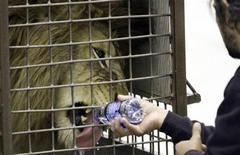 <p>A lion, one of 25 rescued from Bolivian circuses, gets a drink of water in its shipping crate after being unloaded from a jet in Denver February 16, 2011. REUTERS/Rick Wilking</p>