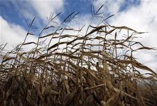 <p>A field of corn is seen in Embrun, Ontario, October 16, 2010. REUTERS/Shaun Best</p>