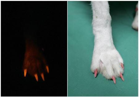 7月27日、韓国・ソウル大学の科学者チームが、クローン技術を用いて「光る犬」を創り出したと発表した。写真は2009年5月、同大で撮影(2011年 ロイター/Jo Yong-Hak)