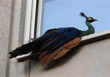 <p>A peacock that escaped from New York City's Central Park Zoo sits perched on a fifth floor window sill at 833 Fifth Avenue at 65th street in New York August 2, 2011. REUTERS/Mike Segar</p>