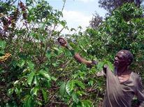 A man harvest coffee beans in Ghieta, Burundi October 22, 2005.