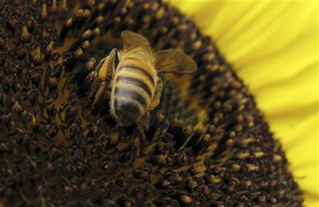 A bee lands on a sunflower to gather pollen in Encinitas, California in this June 23, 2009 file photo. REUTERS/Mike Blake