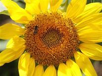 Пчела ползает по подсолнуху, растущему в парке на японском острове Хоккайдо, 20 июля 2011 года. Крупный российский производитель растительного масла Эфко выводит акции из-под залога, активно готовясь к IPO на Лондонской фондовой бирже, сообщил Рейтер источник в финансовых кругах. REUTERS/Yuriko Nakao