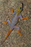 Новый вид геккона (Cnemaspis psychedelica), обнаруженный в дельте реки Меконг. Фотография предоставлена Рейтер WWF 12 декабря 2011 года. Геккон с безумным окрасом и обезьяна с начесом, как у Элвиса Пресли, составляют лишь малую часть из более чем 200 новых видов, открытых в регионе Большой Меконг в прошлом году, сообщил Всемирный фонд дикой природы (WWF) в понедельник. REUTERS/L. Lee Grismer/WWF/Handout