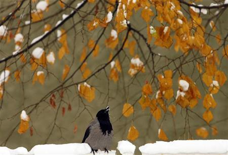A magpie stands near the snow-covered banks of the Miljacka river in Sarajevo December 11, 2010. REUTERS/Danilo Krstanovic