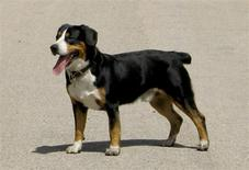 <p>An Entlebucher Mountain Dog is pictured in this handout photo obtained by Reuters January 25, 2012. The dog is one of six new breeds being introduced to the Westminster Kennel Club Dog Show this February. REUTERS/Westminster Kennel Club/Handout</p>