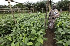 A farmer walks between rows of cocoa plants in a farm in Bonoua in the east of Ivory Coast July 11, 2011.  REUTERS/Luc Gnago